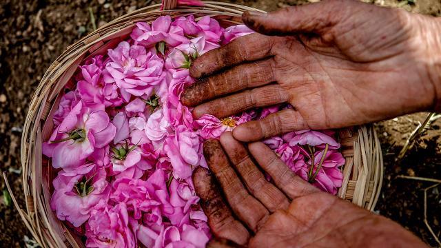 Gül çiçeğinin alım fiyatı 7 lira 80 kuruş