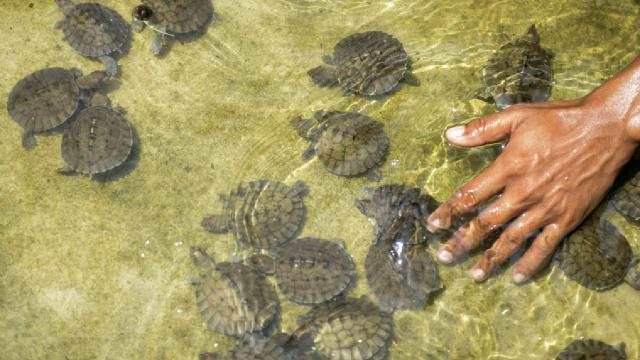 İki başlı ve altı ayaklı kaplumbağa yaşamını sürdürüyor