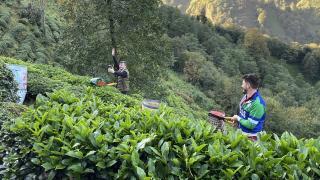 ÇAYKUR, tarihinin en yüksek yaş çay alımını gerçekleştirdi