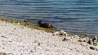 Keban Baraj Gölü'nde nesli tükenme tehlikesi altında olan su samuru görüldü