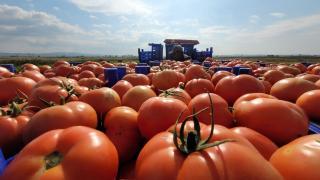 Çanakkale domatesi hasadı üreticilerin yüzünü güldürdü