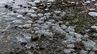 Binlerce ölü denizanası kıyıya vurdu