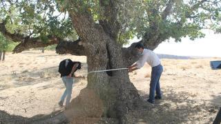 400 yıllık meşe ağaçları tespit edildi