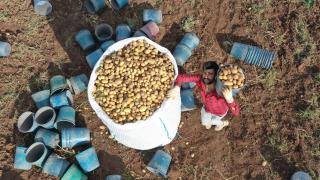 Yerli tohumluk patateste kuraklık verimi düşürmedi