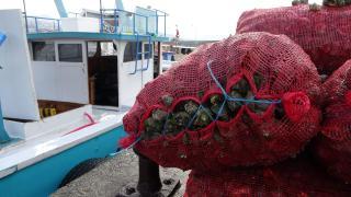 Trabzonlu balıkçılar deniz salyangozuna yöneldi
