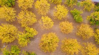 Malatya'daki kayısı ağaçları sonbaharda görsel şölen sunuyor