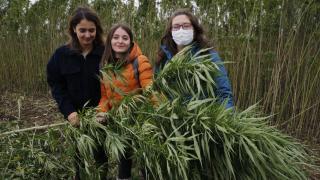 Samsun'da narlı kenevir hasadı yapıldı