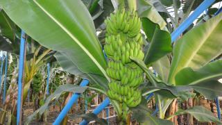 Anamur'da, `Bahçe Günleri` programında yerli muzun gelişimi anlatıldı