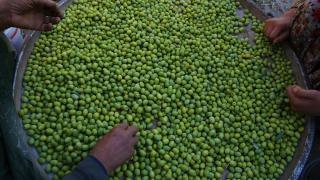 Kızıltepe Ovası'nda zeytin hasadı