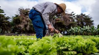 Cumbre Vieja'nın külleri tarım alanlarını etkiledi