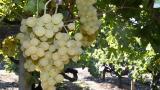 Coğrafi işaretli müşküle üzümünde ilk hasat