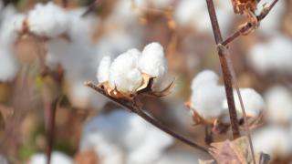 Kahramanmaraş'ta pamuk verimiyle üreticileri sevindiriyor