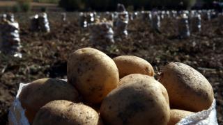 Tokat'ta patates üreticisi verimden memnun