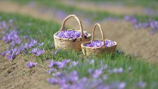 5. Safran Festivali'nde hasat yapıldı