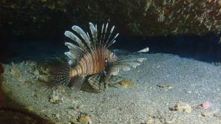 İstilacı aslan balığı Ege'de de yayılıyor