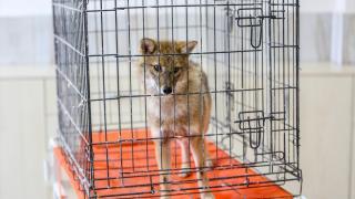 'Altın çakal' rehabilitasyonun ardından doğaya salınacak
