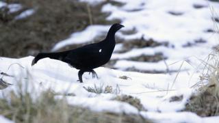 'Dağ Horozu' kuş gözlemcilerinin ilgisini çekiyor