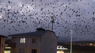Aylar sonra geri döndüler: Ardahan'da yine karga istilası