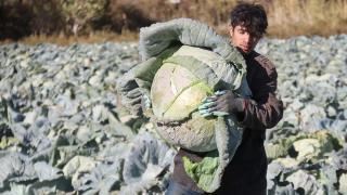 Kuraklık Van'da lahana verimini olumsuz etkiledi