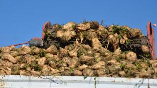 Muş'ta çiftçiler tarafından ekimi yapılan şeker pancarı hasadına devam ediliyor.
