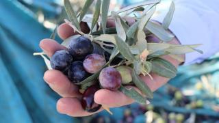 Kilis'te zeytinin yağa dönüşüm yolculuğu başladı
