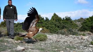 Çanakkale'de bitkin bulunan kızıl akbaba bakımının ardından doğal ortama salındı