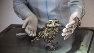 Yaralı baykuş tedavi edildi, doğaya salınacak