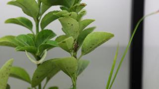 Kahverengi kokarca ile mücadele için samuray arıları