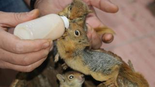 Ağaç kavuğunda bulunan sincap yavrularını biberonla besliyor
