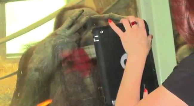 Artık orangutanlar da tablet bilgisayar kullanıyor