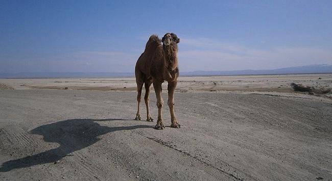 Dikkat deve çıkabilir!
