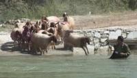 Çobanlarıyla Suya Dalan Koyunlar...