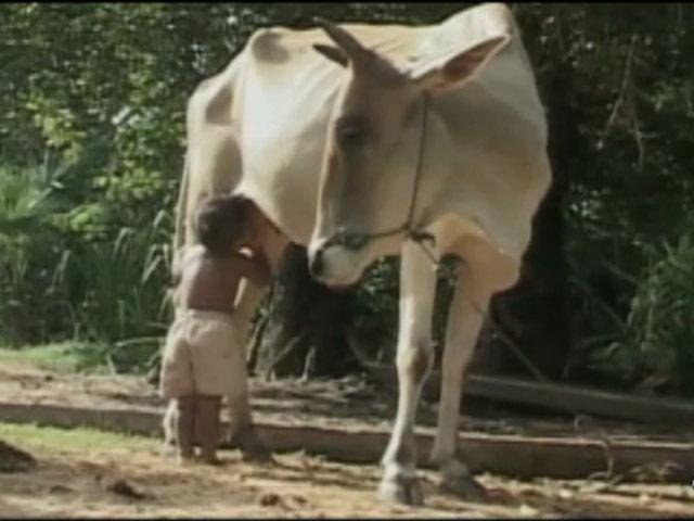 Süt Annesi Bir İnek