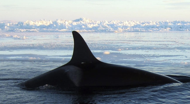 Talep yok ama av çok: Norveç balina avında Japonyayı yakaladı