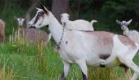 Üniversitenin keçileri damızlık ve kurbanlık olarak satılacak