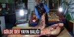 Gölde dev yayın balığı