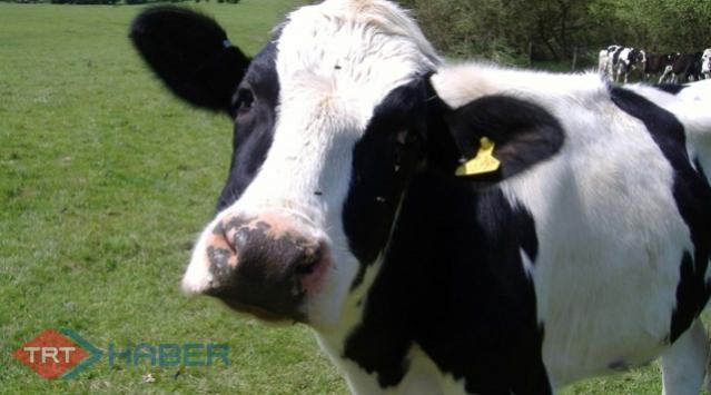 2 Bin 250 Ton Canlı Hayvan İthalatı
