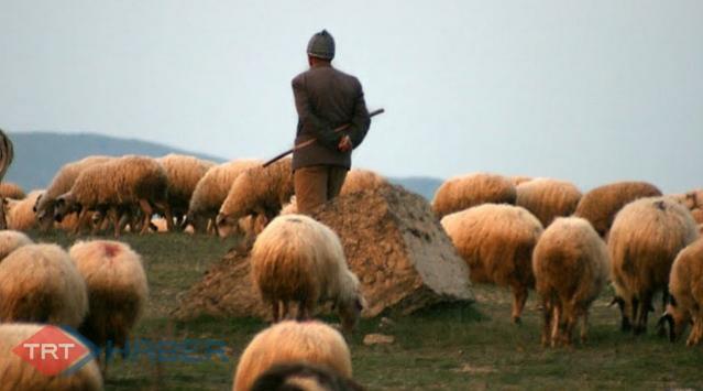 Çobanlık için meslek standardı getirildi