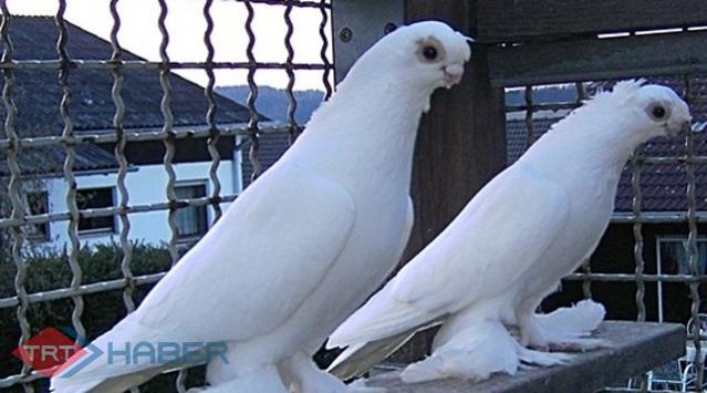 Güvercinler İnsan Yüzlerini Tanıyor