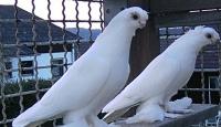 Güvercinlerin İlginç Sırrı!