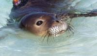 70 Bin Fok Balığının İtlaf Edilmesi İstendi