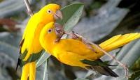 Papağanlar Birbirlerine İngilizce Öğretiyor