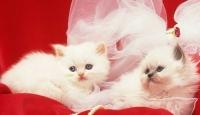 Van Kedileri Podyuma Çıkacak