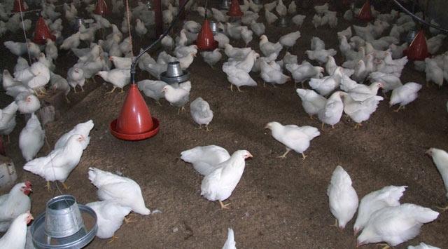 Kümes hayvancılığı üretiminde son durum