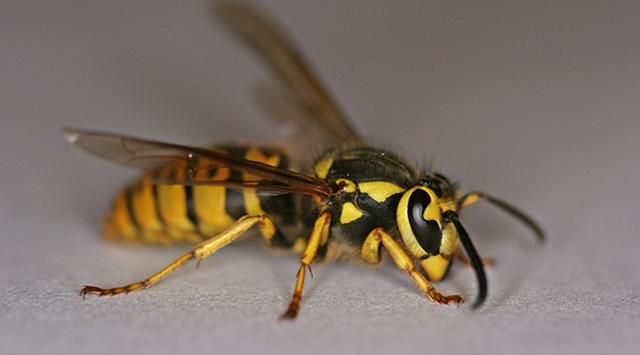 Yaban arıları sanılandan zeki çıktı!