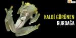 Kalbi görünen kurbağa
