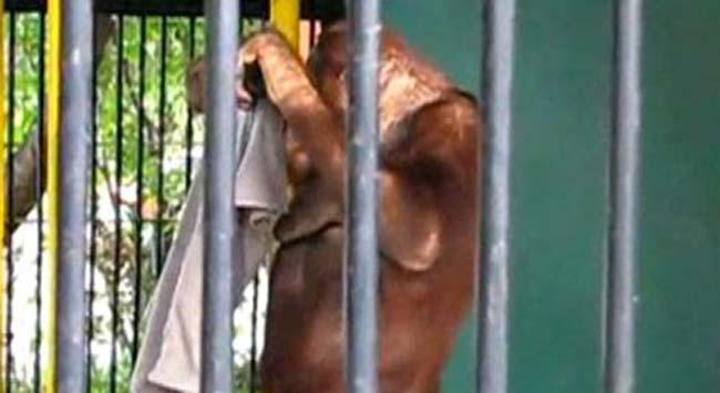 O artık orangutanın oldu