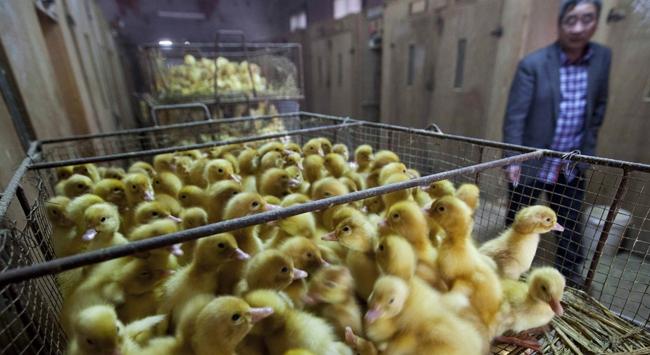 Çinde kuş gribi alarmı