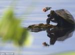 Kaplumbağanın gözyaşını arı sildi