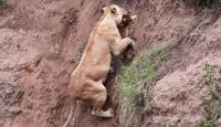 Aslan, Yavrusunu Uçurumdan Böyle Kurtardı